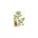 Angelica officinalis 250g