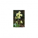 Cowslip (Primula officinalis) Artenativa 30 Pills 500mg