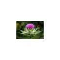 Milk thistle (Cardo Mariano - Silybum marianum) Mother Tincture 125ml