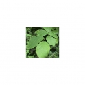 Witch hazel (Hamamelis virginiana) 500g leafs