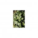 English ivy (Hedera helix) leafs 500g